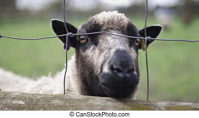 Up close 4k view of a black and gray sheep at a farmyard, anxiously sticking its snout out of a square knot fence looking to be fed