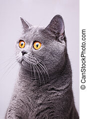 Gray shorthair British cat with bright yellow eyes