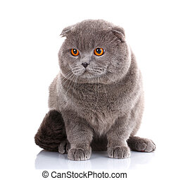 gray shorthair British cat with yellow eyes on white background