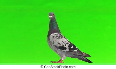gray shtihel dove isolated on green background