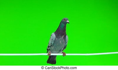 gray shtihel dove sitting on a white stick isolated on green...