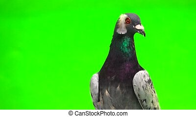 gray shtihel dove with a feather on its head isolated on...
