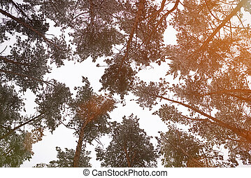 Gray sky around tall trees