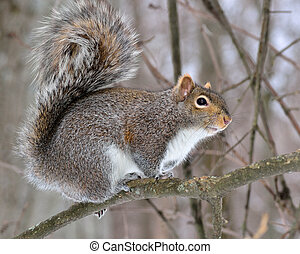 A gray squirrel perched in a tree.