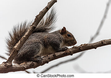 gray squirrel crouching in tree branches