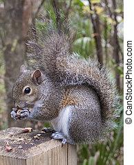 Gray Squirrel Eating a Peanut - Gray squirrel, Sciurus...