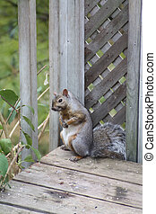 Gray squirrel in a corner of a wooden porch. The Gray squirrel is native to the southerly portions of the eastern provinces of Canada.