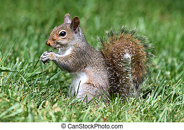 Gray Squirrel In Grass