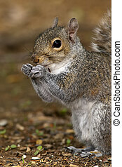 Close-up portrait of an Eastern Gray Squirrel eating seed.