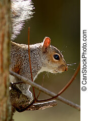 Portrait of a Gray Squirrel sitting on a branch