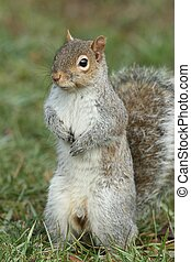 Gray Squirrel (sciurus carolinensis) standing upright on a lawn