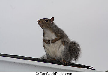 Gray squirrel sitting on a house roof. This tree squirrel is native to the southerly portions of the eastern provinces of Canada.