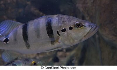 Gray striped archer fishes hover under water 4K close up...