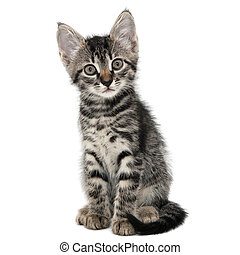 gray striped kitten with a surprised grimace isolated white