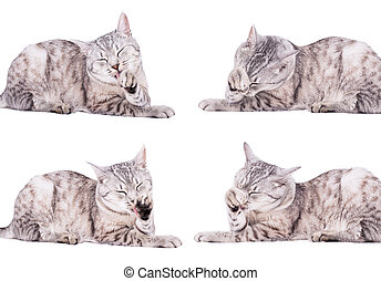 gray tabby cat European portrait