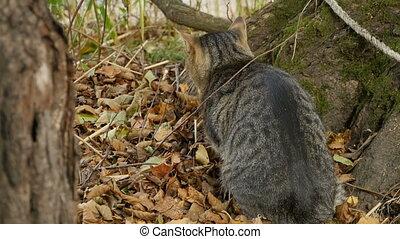 gray tabby cat is hunting ducks in ambush