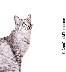 gray tabby cat Isolated on white background