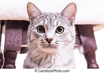 gray tabby striped cat plays