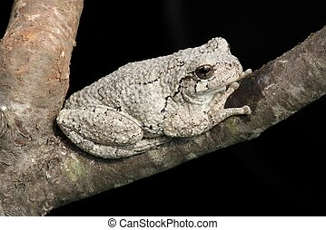 Gray Tree Frog (Hyla versicolor) on a tree with a black...