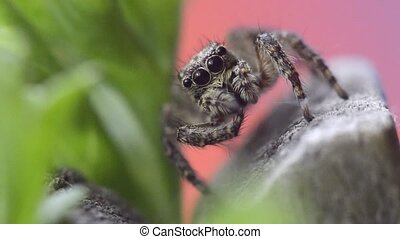 Gray wall jumping spider, macro video shot of spider ...