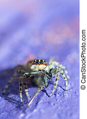 Gray wall jumping spider, Menemerus bivittatus feeding on fly. Closeup portrait of spider on purple blurred background.