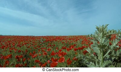 Gray weeds on a field with red flowers. - Gray weeds on the...