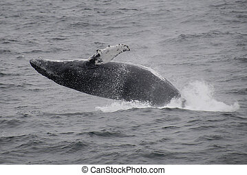 Gray Whale breaching Atlantic Ocean