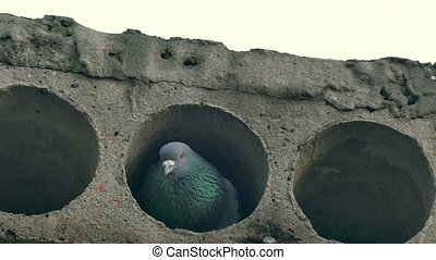 gray wild pigeon bird sitting in concrete slab looks - gray...