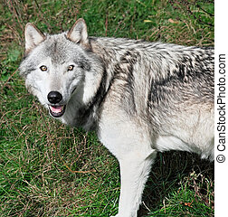 Gray Wolf - A gray wolf is looking at the camera.
