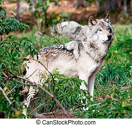 Gray Wolf - A gray wolf is standing and looking sideways