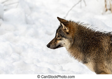 Gray wolf, Canis lupus, head in profile, looking left, with ...