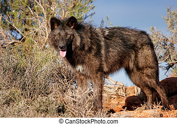 Gray wolf (Canis lupus) in a desert with red rock formations