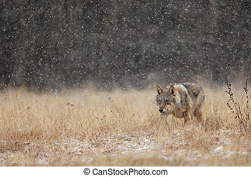 Gray wolf (Canis lupus) in taiga in snowy winter day. Animal in nature habitat. Animal looking for prey