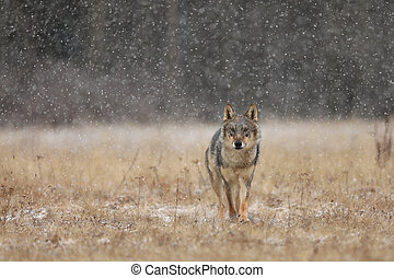 Gray wolf (Canis lupus) in taiga in snowy winter day. Animal in nature habitat. Wolf berofe hunting