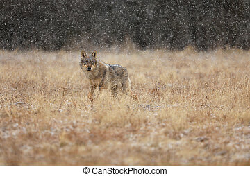 Gray wolf (Canis lupus) in taiga in snowy winter day. Animal in nature habitat.