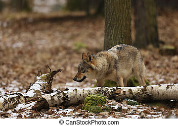 Gray wolf, Canis lupus, in winter forest.