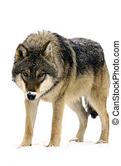 European gray wolf (Canis lupus) in the snow isolated