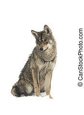 gray wolf (canis lupus) isolated on snow on a white ...