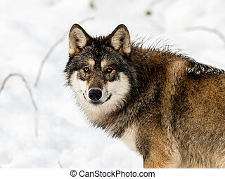 Gray wolf, Canis lupus, looking in camera. with snow in the ...