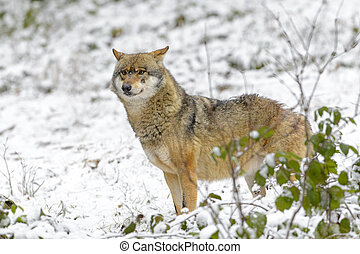 Gray wolf (Canis lupus lupus)