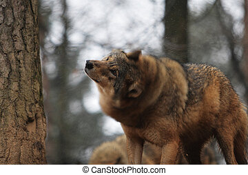 Gray Wolf Canis Lupus