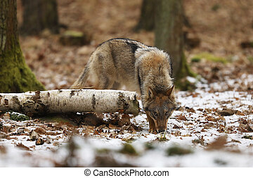 Gray wolf, Canis lupus, sniffing in winter forest.
