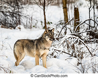 Gray wolf, Canis lupus, standing looking right, in a snowy ...