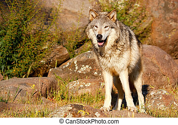 Gray wolf (Canis lupus) standing near rocks