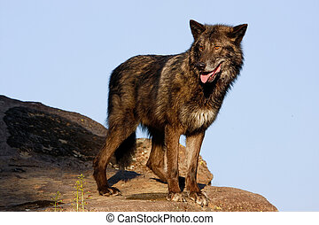 Gray wolf (Canis lupus) standing on rocks