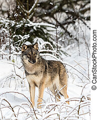 Gray wolf, Canis lupus, standing towards camera, looking ...