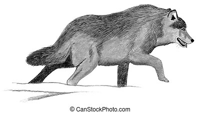Gray Wolf - Canis lupus Pencil and Computer Drawing