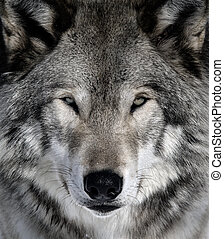 Gray Wolf - Close-up portrait of a gray wolf