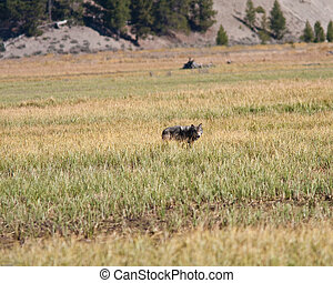 Gray Wolf - Gray wolf during fall in Yellowstone park