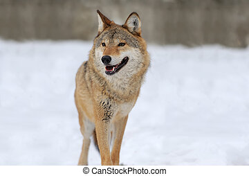 Gray wolf - Grey Wolf (Canis lupus) in winter time